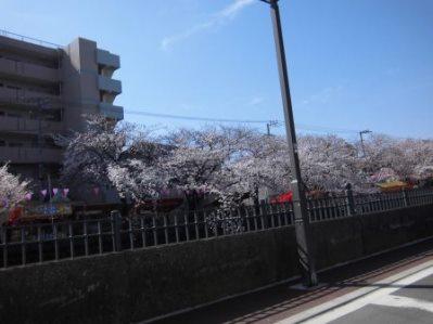 大岡川 さくら道 2015.03.002.jpg