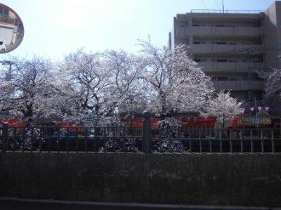 大岡川 さくら道 2015.03.003.jpg