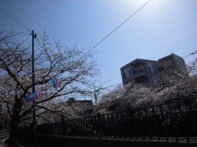 大岡川 さくら道 2015.03.004.jpg