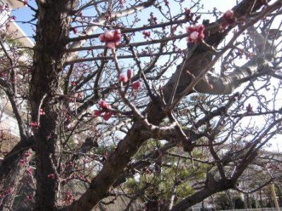 梅の開花.01.jpg
