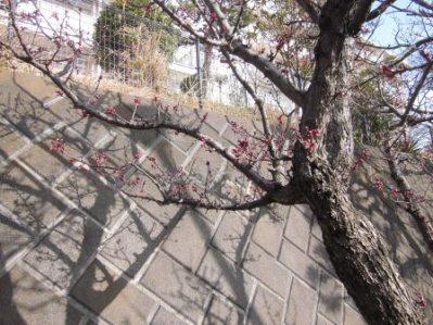 梅の開花.02.jpg